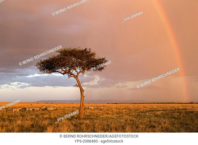 Plains Zebras (Equus quagga) in savannah with rainbow, Masai Mara, Kenya