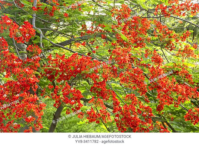Flamboyant Royal Poinciana tree in Bequia, St. Vincent and the Grenadines