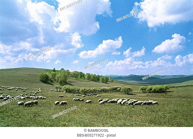 Flock of sheep grazing, Mulan, Hebei Province of People's Republic of China