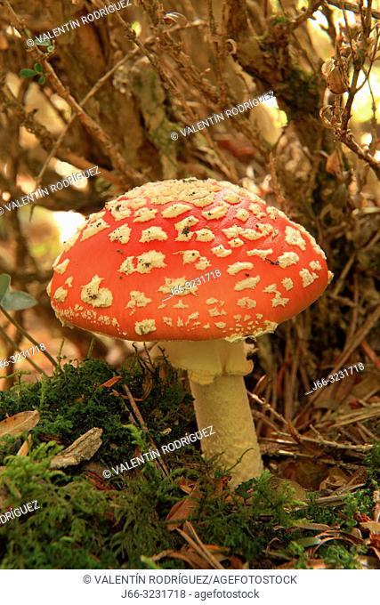 Fly agaric mushroom (Amanita muscaria) in the natural park Posets - Maladeta. Huesca