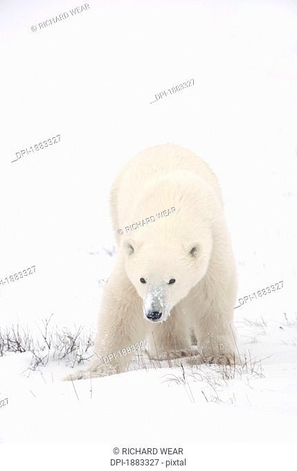 Young Polar Bear Ursus Maritimus Walks Across The Snow, Churchill, Manitoba, Canada