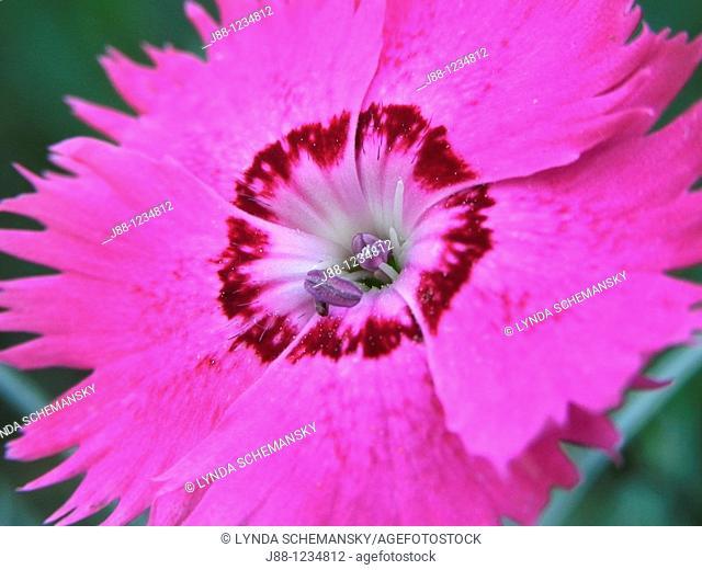 Dianthus plumarius flower