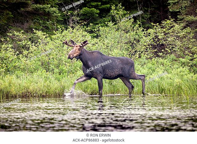 Young bull Moose (Alces alces) with velvet antlers, Algonquin Provincial Park, Ontario, Canada