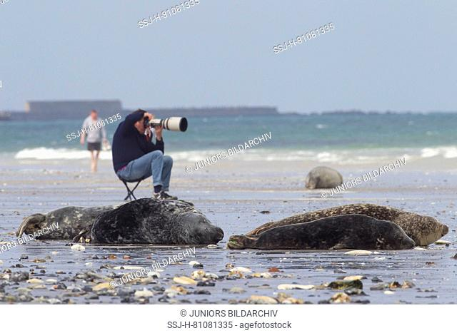 Photographer taking pictures of Grey Seals (Halichoerus grypus). Helgoland, Germany