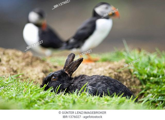 Black rabbit looking out of burrow, Atlantic Puffins (Fratercula arctica) behind, Treshnish Island, Scotland, United Kingdom, Europe