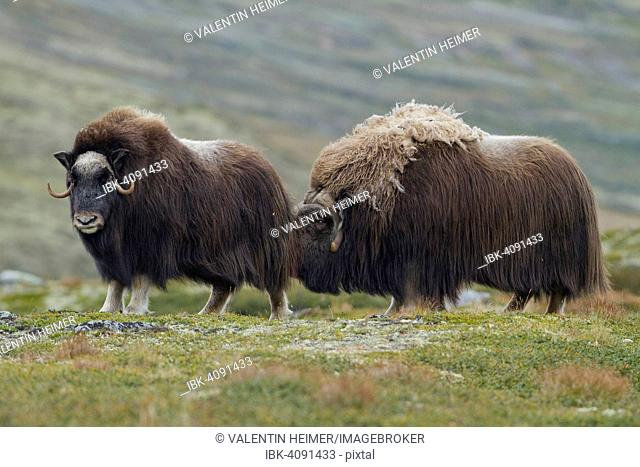 Muskox (Ovibos moschatus) bull checking a female for fertility, Dovrefjell-Sunndalsfjella National Park, Norway