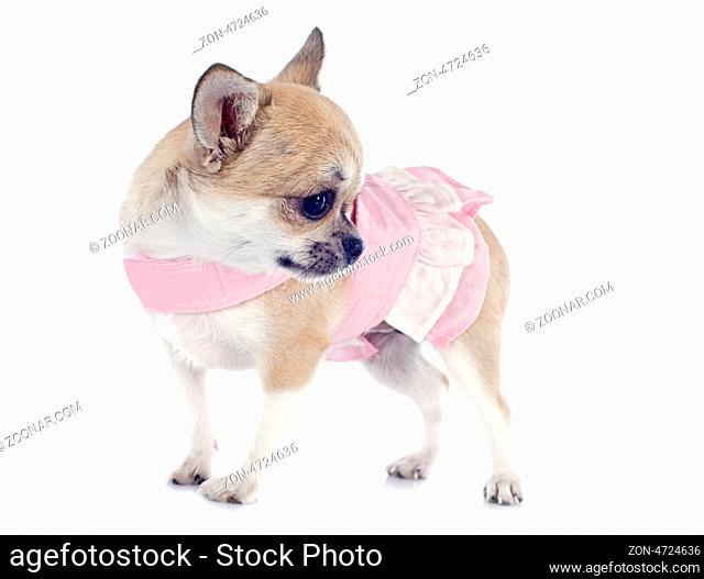 portrait of a cute purebred puppy chihuahua with dress in front of white background