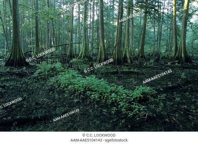 Bald Cypress Swamp at low Water, Atchafalaya Basin, Louisiana