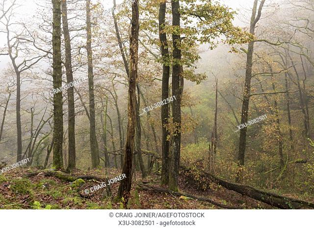 Autumn mist in a broadleaf woodland in the Brecon Beacons National Park, Powys, Wales