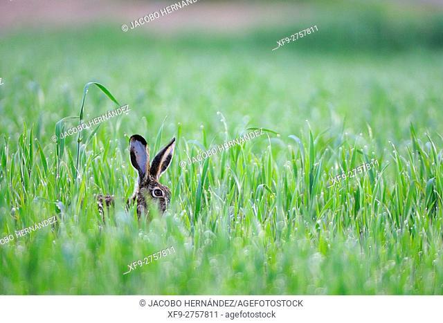 Iberian Hare (Lepus granatensis), .La Albuera, Badajoz province, Extremadura, Spain