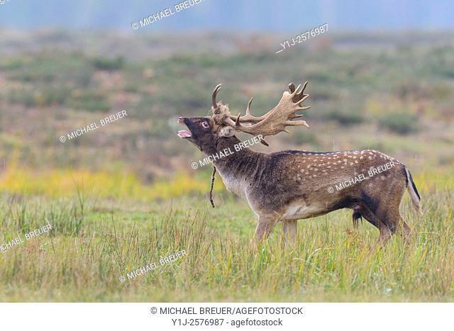 Fallow Deer (Cervus dama) with rope on his antler, Hesse, Germany, Europe