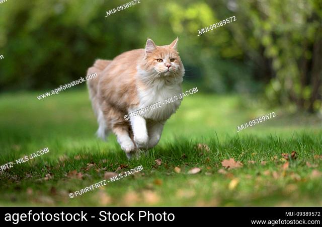 cream tabby ginger maine coon cat running on grass with autumn leaves outdoors in nature looking ahead