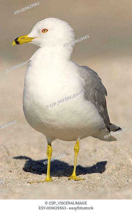 Ring-billed Gull, Larus delawarensis argentatus