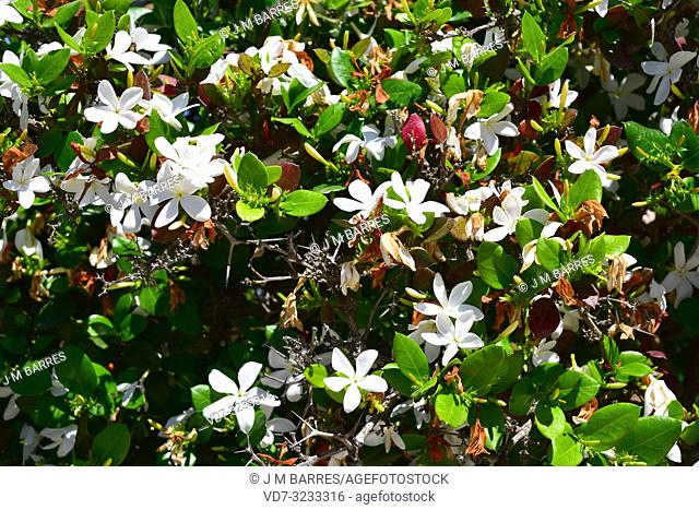 Natal plum (Carissa macrocarpa or Carissa grandiflora) is spiny evergreen shrub native to South Africa. Is poisonous except the fruits that is edible