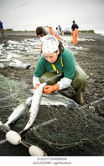 Commercial setnetters pick sockeye salmon from their setnets in the fishing villiage of Ekuk near Dillingham, Nushagak Bay, Bristol Bay, Bering Sea, Alaska