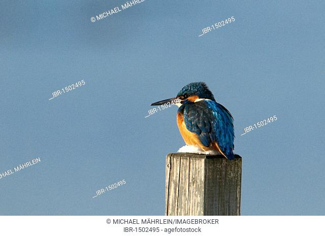 Kingfisher (Alcedo atthis) perched on its songpost