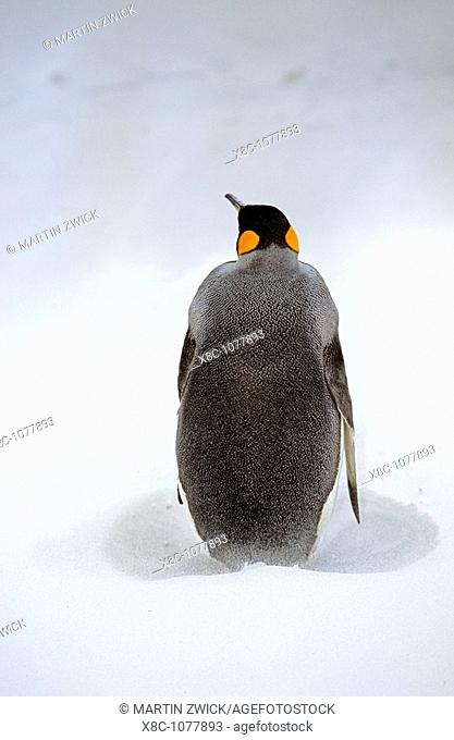 King Penguin Aptenodytes patagonica is resting on stormy weather with sandstorm at the beach at Volunteer Point on the Falkland Islands after returning from...