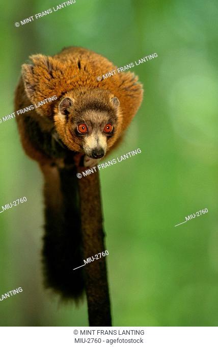 Mongoose lemur, Eulemur mongoz, Madagascar