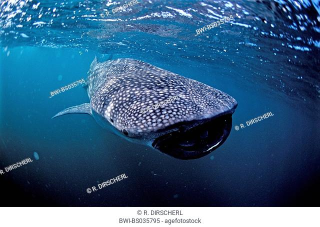 whale shark (Rhincodon typus), with open mouth, largest fish of the world, Australia, Ningaloo Riff