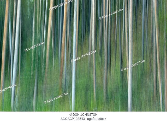 Lodgepole pine forest, Banff National Park, Alberta, Canada