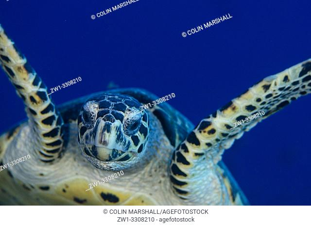Hawksbill Turtle (Eretmochelys imbricata) swimming, Pulau Suanggi dive site, Ambon, Maluku (Moluccas), Indonesia