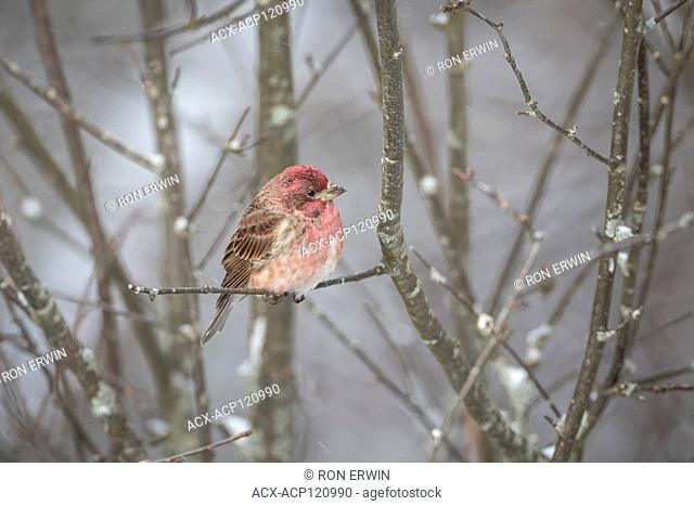 Male Purple Finch (Haemorhous purpureus), Algonquin Provincial Park, Ontario, Canada