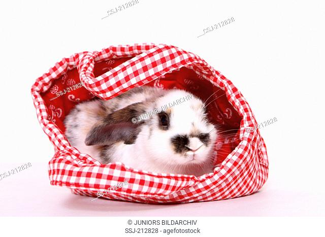 Lop-eared dwarf rabbit in a canvas bag. Studio picture against a white background