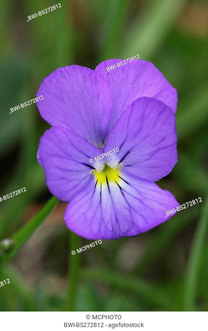 Swiss violet Viola calcarata, flower, Switzerland, Valais, Riederalp