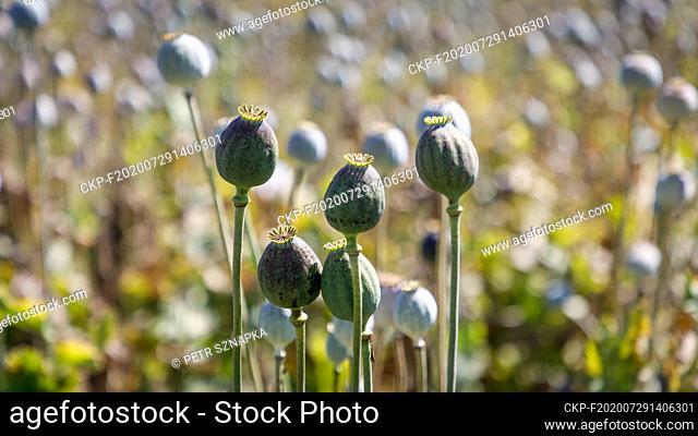 Opium poppy (Papaver somniferum) field in Sedlistka near Svitavy, Czech Republic, June 28, 2020. (CTK Photo/Petr Sznapka)