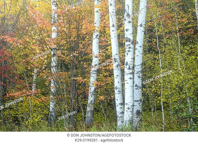 Autumn maple foliage and aspen tree trunks, Greater Sudbury, Ontario, Canada