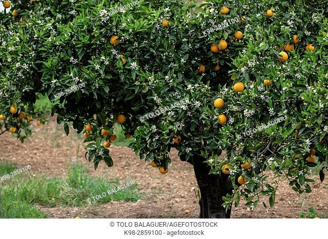 naranjos en flor, Algaida, Mallorca, balearic islands, spain, europe