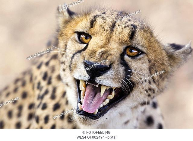 Africa, Namibia, Close up of cheetah