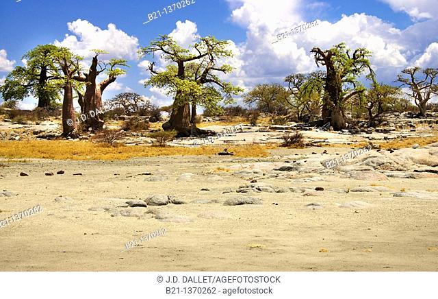 Baobab trees on the Lekhubu Island, Botswana