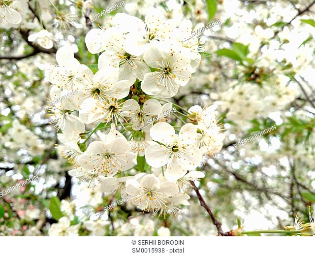 Flowers white color apple tree branch blossoms in summer day nature