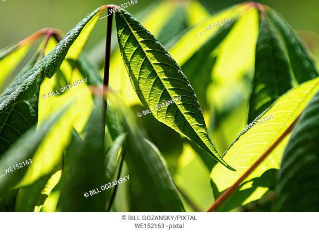 Backlit Leaf Patterns - North Carolina Arboretum, Asheville, North Carolina, USA
