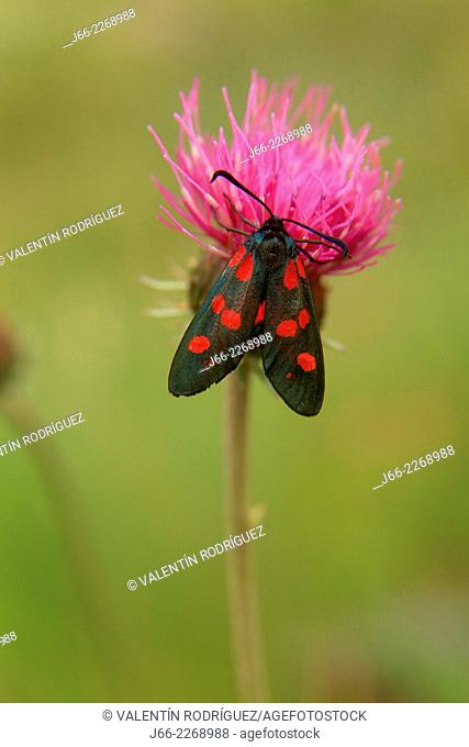 Butterfly common Zygena (Zigaena filipéndula), National Park Gran Paradiso, Italy