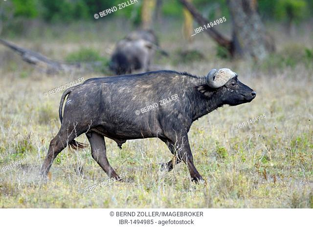 African buffalo (Syncerus caffer), bull running, Lake Nakuru National Park, Kenya, East Africa, Africa