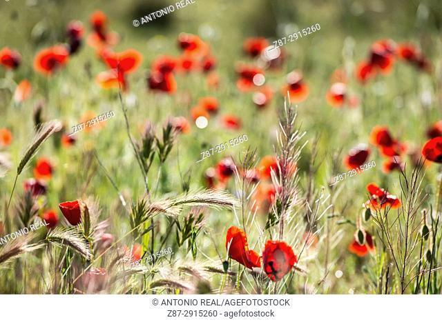 Poppies (Papaver rhoeas). Almansa. Albacete, Spain