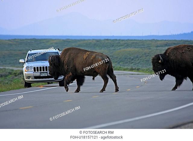 bison crossing road wyoming grand teton national