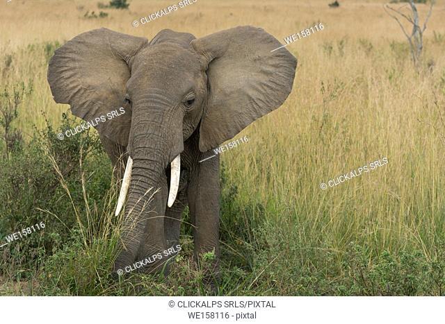 Masai Mara Park, Kenya,Africa,African bush elephant
