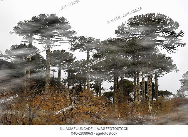 Forest of Araucarias