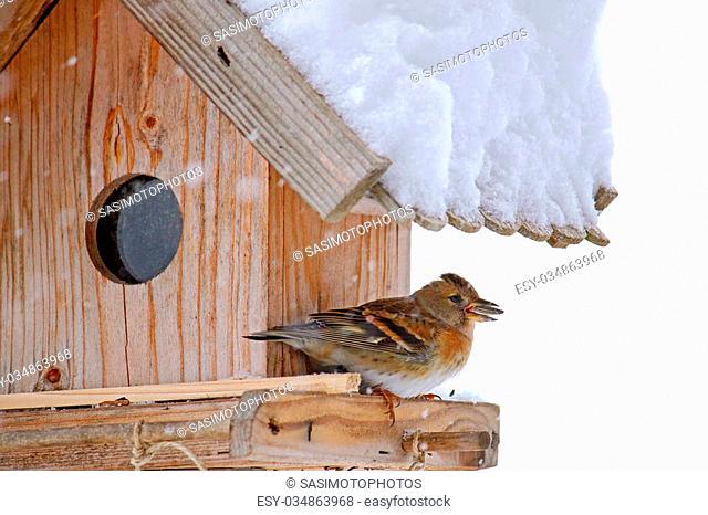 The Brambling bird (Fringilla montifringilla) with sunflower seed in its beak, perching on a wooden bird feeder during snowfall in Europe