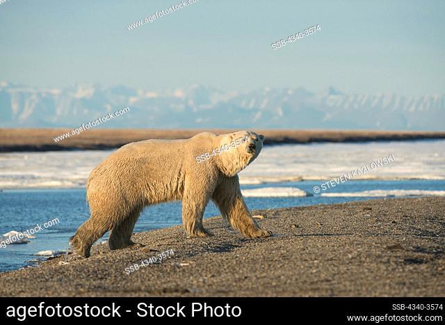 USA, Alaska, North Slope of Brooks Range, starving skinny adult polar bear (Ursus maritimus) walking along coast in search of food