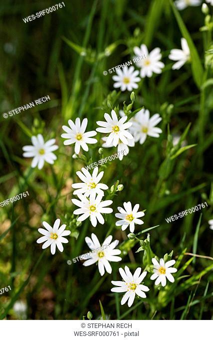 England, Greater Stitchwort, Stellaria holostea