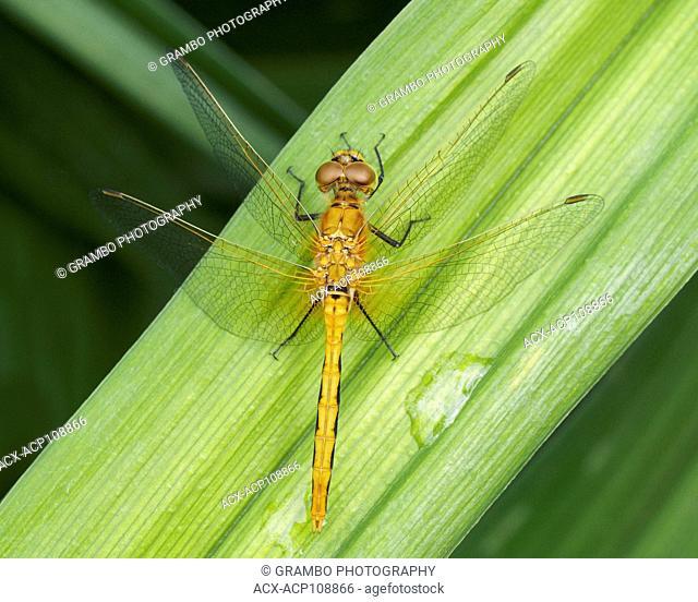 Dragonfly, Sympetrum obstrusum, Warman, Saskatchewan, Canada