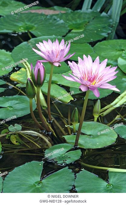 NYMPHAEA STELLATA LOTUS FLOWER SHAPLA NATIONAL SYMBOL OF SRI LANKA AND BANGLADESH