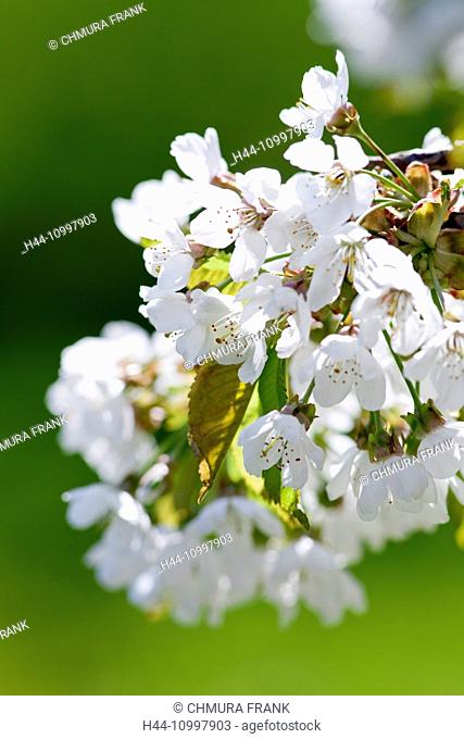 Close-up of Cherry Flower at Blossom in Spring