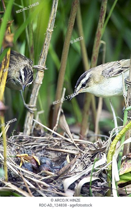 Sedge Warbler pair at nest with chicks Lithuania Acrocephalus schoenobaenus