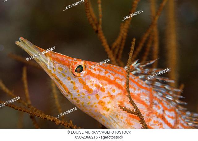 Longnose hawkfish, Oxycirrhites typus, usually found in the branches of gorgonian sea fans and black coral
