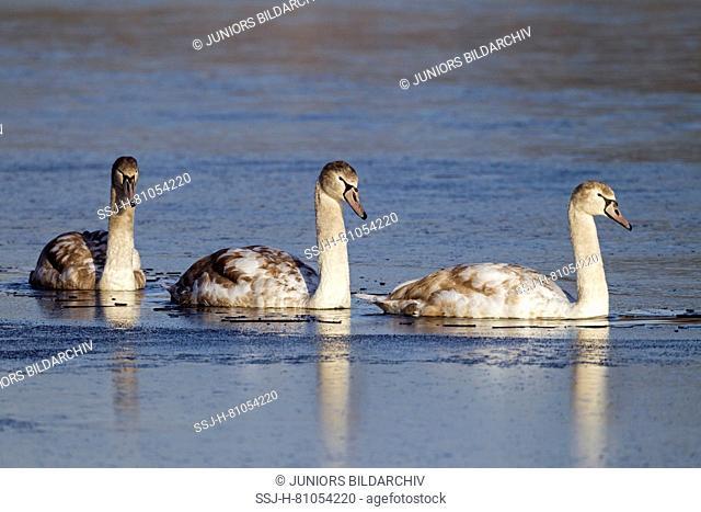 Mute Swan (Cygnus olor). Thjree juveniles in first winter, swimming. Germany